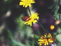 关闭一朵黄色雏菊 免版税库存照片