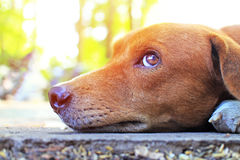 关闭一条可爱的棕色狗的面孔 免版税库存图片