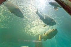 关闭一条巨型石斑鱼在水族馆的水下 库存图片