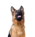 关闭一条幼小德国牧羊犬狗的画象 两岁宠物 免版税图库摄影