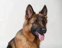 关闭一条幼小德国牧羊犬狗的画象 两岁宠物 免版税库存图片