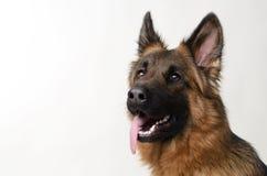 关闭一条幼小德国牧羊犬狗的画象 两岁宠物 免版税库存照片
