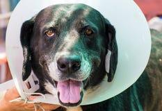 关闭一条病的狗的画象,害病的狗 免版税库存图片