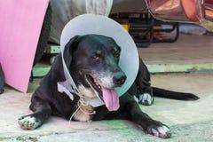 关闭一条病的狗的画象,害病的狗 免版税图库摄影