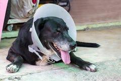 关闭一条病的狗的画象,害病的狗 库存照片