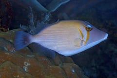 关闭一条蓝色大镰刀引金鱼的图象 库存照片
