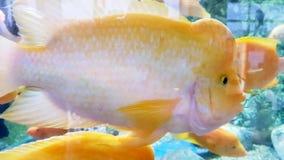 关闭一条黄色鱼 免版税库存照片