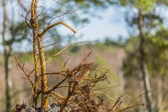 关闭一棵下落的树的根 免版税库存照片