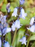 关闭一棵会开蓝色钟形花的草在摇摆在日落最激烈的时候春天 免版税库存照片