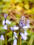 关闭一棵会开蓝色钟形花的草在摇摆在日落最激烈的时候春天 库存照片