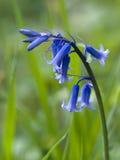 关闭一棵唯一会开蓝色钟形花的草 免版税图库摄影