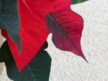 关闭一棵明亮的红色一品红植物的叶子 库存图片