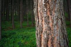 关闭一棵杉树在山松森林里 图库摄影
