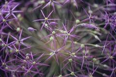 关闭一棵桃红色紫色葱属植物的抽象花摄影图象有景深的并且弄脏背景 免版税图库摄影