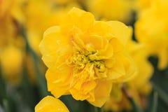 关闭一棵特别黄色水仙 免版税库存照片