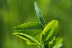 关闭一棵真正的绿色三叶草离开 免版税库存图片