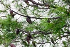 关闭一棵老杉树 免版税图库摄影