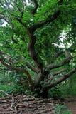 关闭一棵老树 免版税库存照片