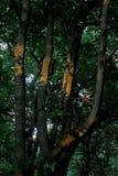 关闭一棵老树 库存图片