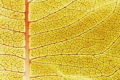 关闭一片五颜六色的黄色乳草植物叶子 免版税库存图片