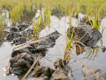 关闭一片稻田的年轻粮食作物在热的下午农村在清迈,泰国地区 库存图片