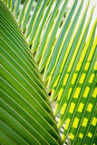 关闭一片绿色新鲜的棕榈树叶子 免版税库存图片
