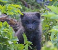 关闭一白狐Alopex雷鸟属beringensis好奇看的逗人喜爱的崽从鲜绿色的草植物在夏天本质上 库存图片