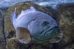 关闭一白色石斑鱼鲶科鱼aeneus的射击在cretaquarium在伊拉克利翁,克利特 库存照片