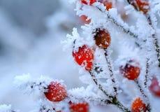 关闭一种霜隐蔽的野玫瑰果 免版税库存照片