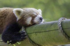 关闭一红熊猫睡觉 被用尽的逗人喜爱的动物 免版税库存照片
