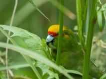 关闭一黄色被加冠的长尾小鹦鹉哺养 库存图片