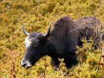 关闭一头吃牦牛在喜马拉雅山 图库摄影
