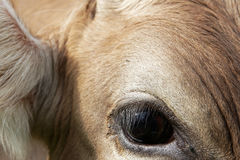 关闭一头幼小母牛的眼睛 库存图片