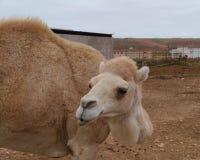 关闭一头幼小独峰驼或阿拉伯骆驼 免版税图库摄影