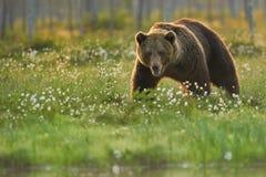 关闭一头狂放,大棕熊,熊属类arctos,在开花的草的男性的照片 库存照片