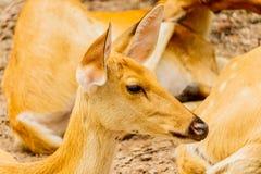 关闭一头野生鹿的射击在森林里 免版税库存照片