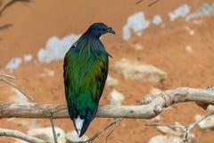 关闭一nicobar鸽子鸠Caloenas nicobarica在树枝栖息,在环境准许附近镇静地看 库存图片