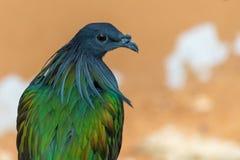 关闭一nicobar鸽子鸠Caloenas nicobarica在树枝栖息,在环境准许附近镇静地看 库存照片