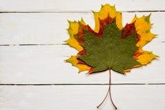 关闭三个槭树叶子各种各样的颜色 免版税库存图片