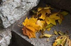 关闭下落的槭树在石台阶离开 库存图片