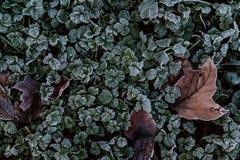 关闭与一些片棕色叶子的冷淡的三叶草被卷起在他们之间 库存图片