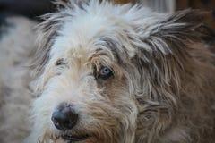 关闭与一双厚实的外套和蓝眼睛的一条狗 免版税图库摄影