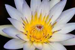 关闭与中心雄芯花蕊的一朵热带浪端的白色泡沫百合花部分地关闭了 免版税库存照片