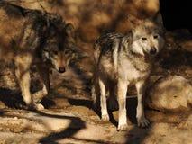 关闭与兴趣的墨西哥灰狼对 免版税库存照片