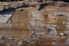 关闭与吠声的一本各式各样的苏格兰松树日志和膜在部分被去除的吠声下 免版税图库摄影