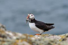 关闭与嘴的一大西洋海鹦Fratercula arctica 图库摄影