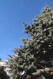 关闭与天空蔚蓝的一棵蓝色云杉的树 图库摄影