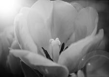 关闭与太阳火光的白色郁金香 免版税库存照片