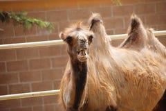 关闭与它的一头Bactrian两个小丘骆驼开放` s的嘴 骆驼属bactrianus 库存照片