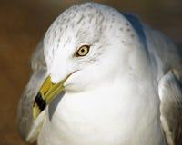关闭与它的特别额嘴和黄色眼睛的一只美丽的圆环开帐单的海鸥 向下有一点被掀动的头 免版税库存图片